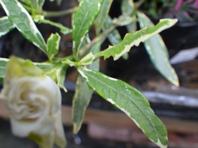 ハンズマンのクチナシとオオスカシバの幼虫-2