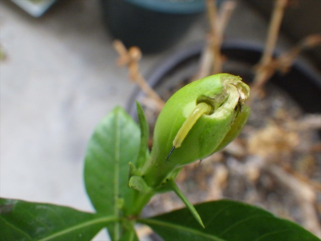 オオスカシバの幼虫-1