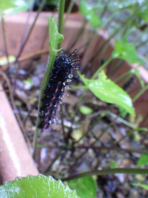 ツマグロヒョウモンの幼虫-1