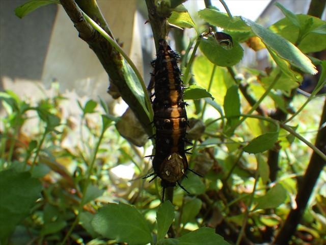 残念なツマグロヒョウモンの前蛹