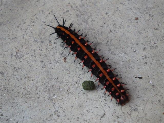 ツマグロヒョウモンの幼虫-5