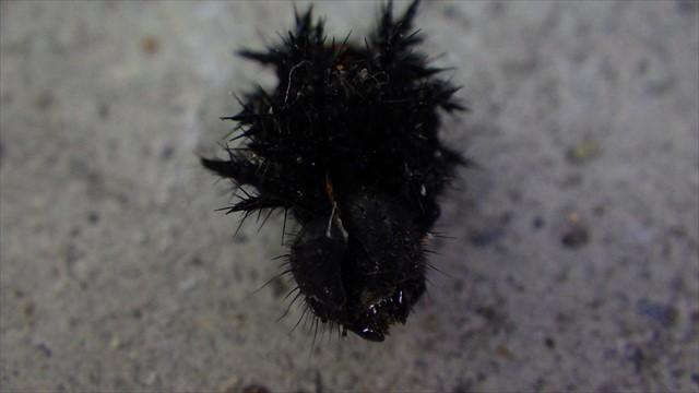 ツマグロヒョウモンの幼虫の皮