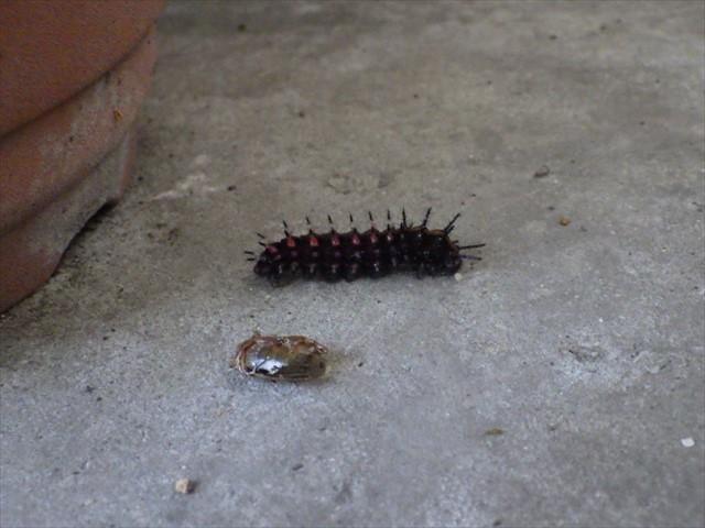 ツマグロヒョウモンの幼虫-6