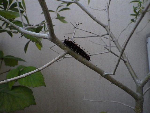 ツマグロヒョウモンの幼虫-8