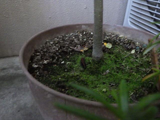 ツマグロヒョウモンの幼虫-9