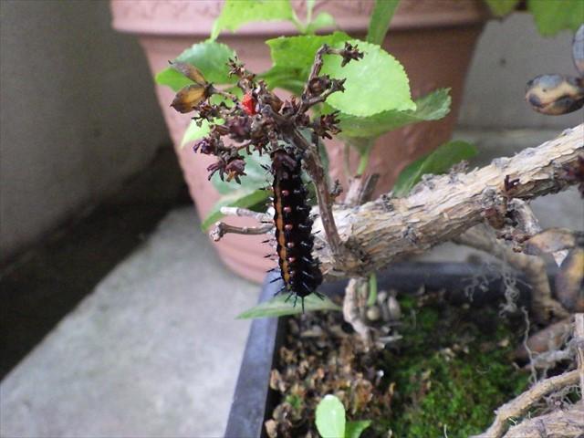 ツマグロヒョウモンの前蛹