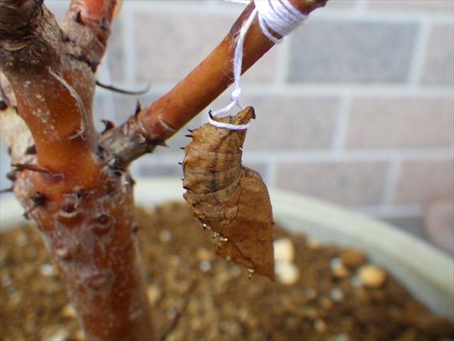 ツマグロヒョウモンの蛹-2 オリーブの木の根元に落ちていた子