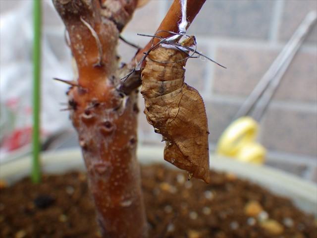 ツマグロヒョウモンの蛹に糸を補強