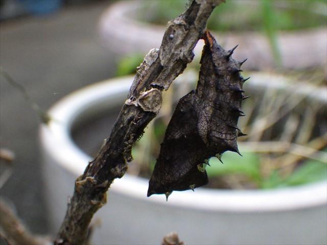 ツマグロヒョウモンの蛹-1
