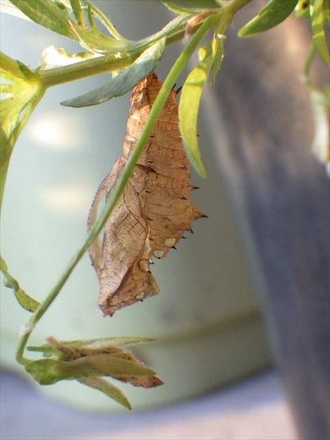 ツマグロヒョウモンの蛹の抜け殻-1