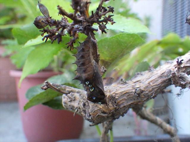 ツマグロヒョウモンの蛹 羽化直前