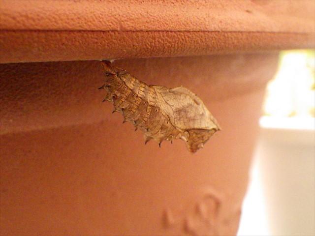 ツマグロヒョウモンの蛹の抜け殻