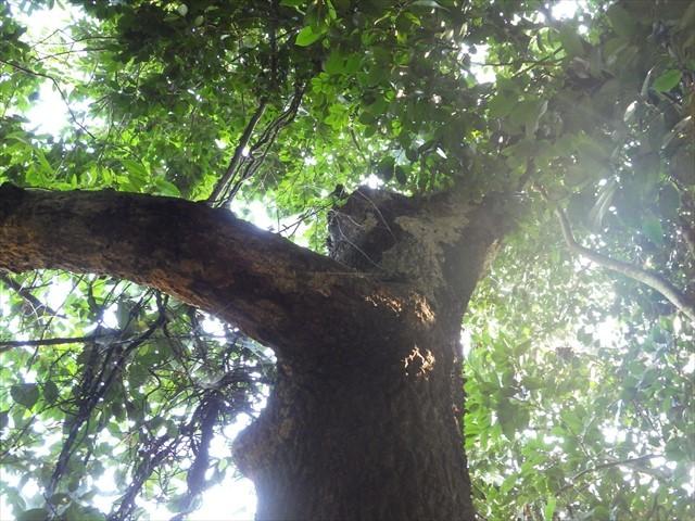 幼少のころカブトムシを捕まえた木