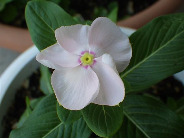 ニチニチソウ開花