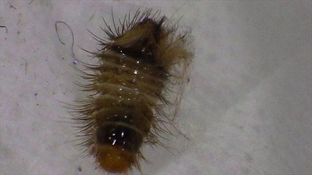 謎の毛虫-2