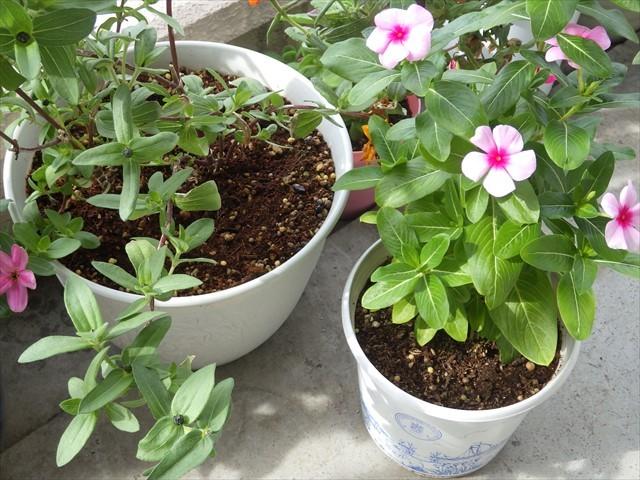 ジニアとニチニチソウの鉢の端にスミレの種を蒔いた