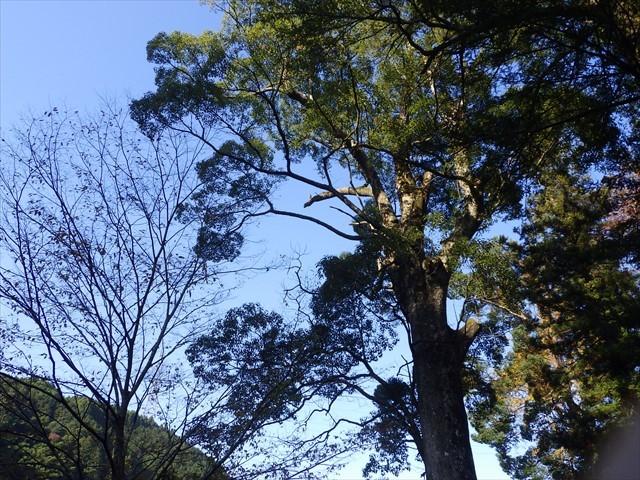 神社跡地傍の大木