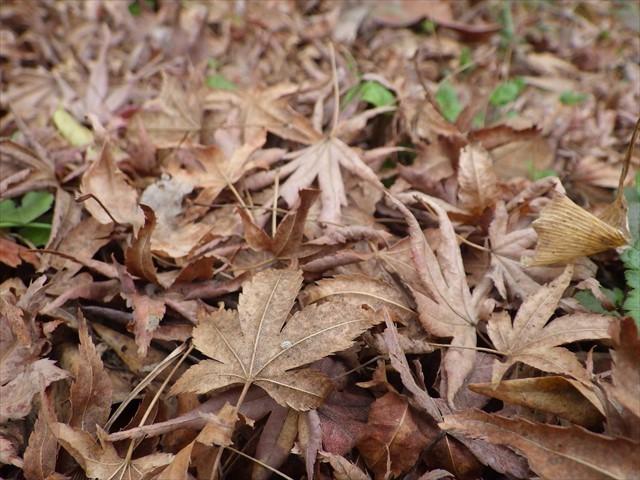 モミジ 紅葉 落ち葉
