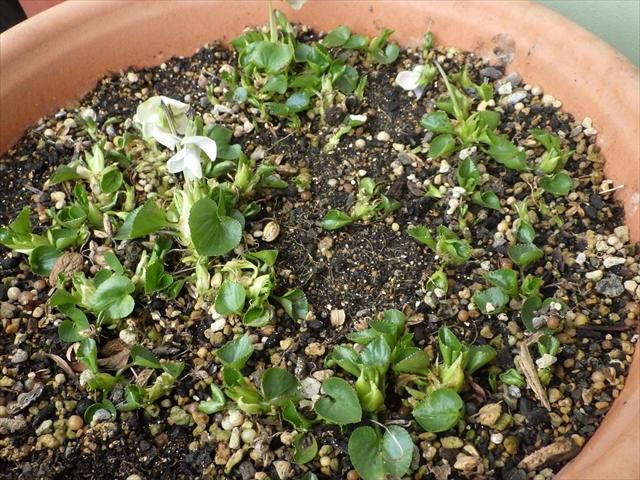 タチツボスミレの開花