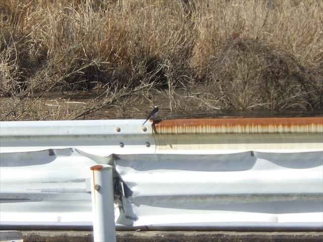 伊良原ダム上流-2 セキレイ