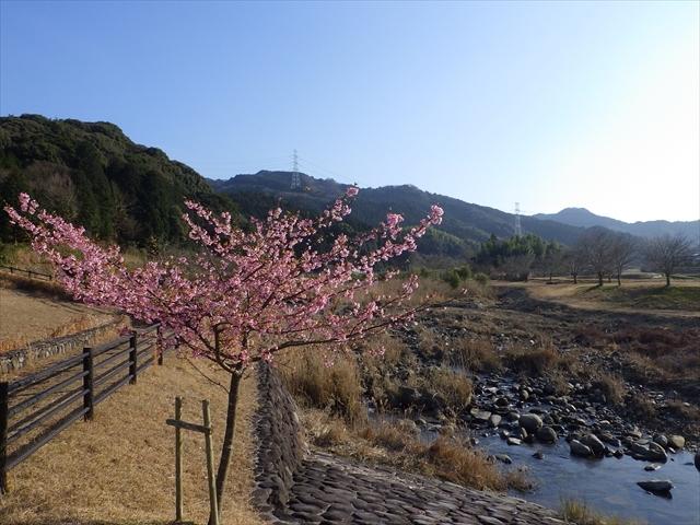 ホタルの里公園-2 河津桜