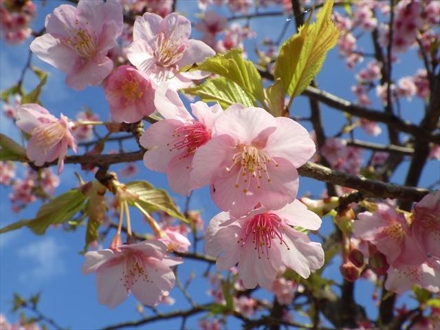ホタルの里公園-3 河津桜