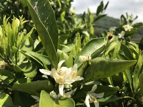 みかんの花とテントウムシ