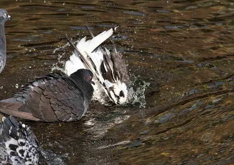 鳩の水浴び (1)
