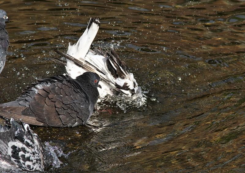 鳩の水浴び (2)