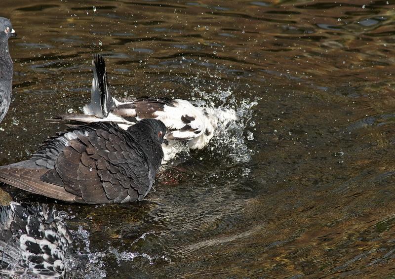 鳩の水浴び (3)