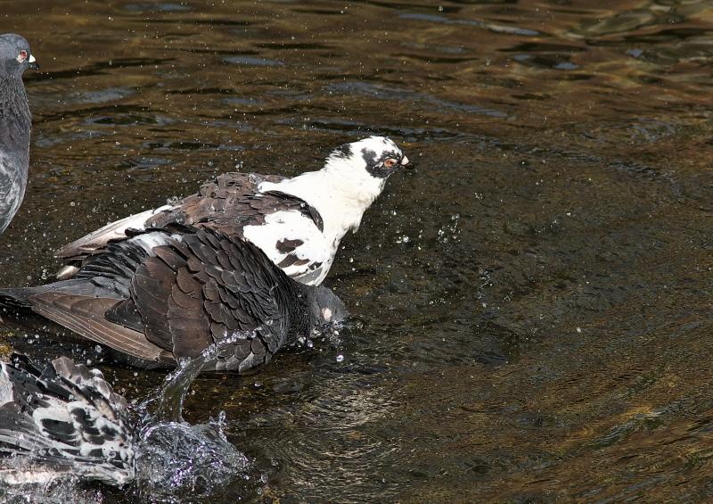 鳩の水浴び (5)