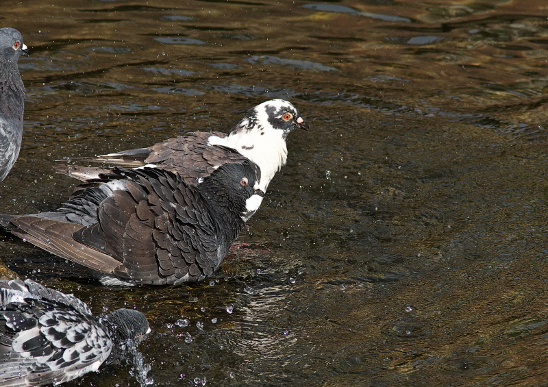 鳩の水浴び (6)