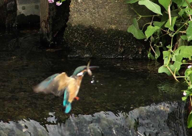 餌捕り(落とす) (2)