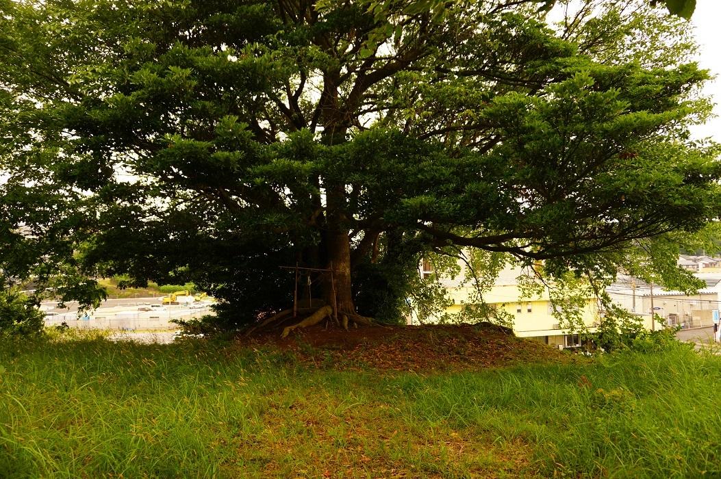 04 大庭鶏塚古墳 墳頂の木