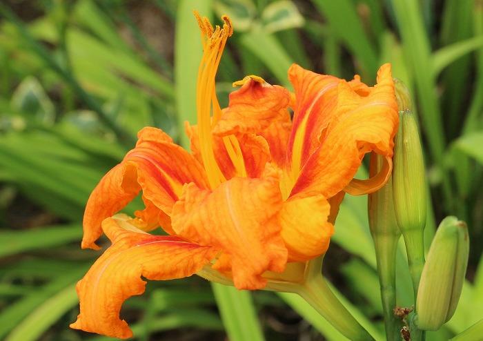 ヤブカンゾウ つぼみと花と 1 7 12