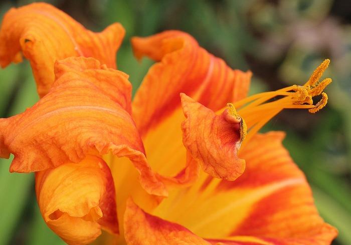 ヤブカンゾウの花 1 7 12