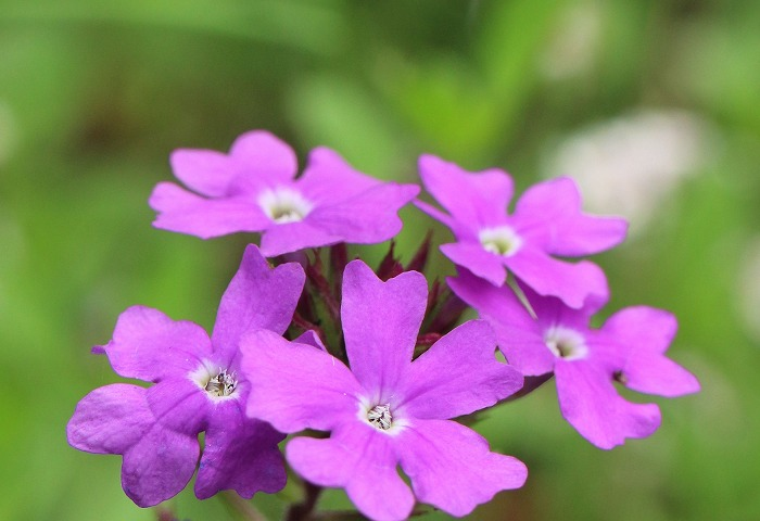 庭に咲く花 バーベナテレナ 1 7 14