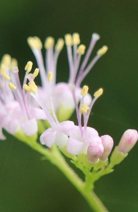 ムラサキシキブ 縦 花 1 7 23