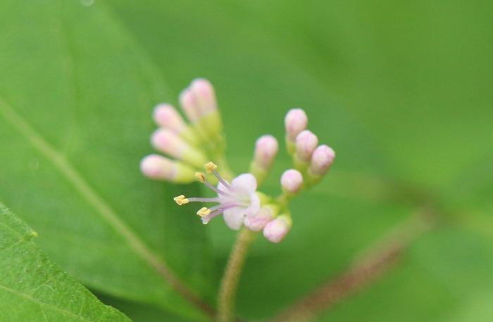 ムラサキシキブの花 横に 1 7 23