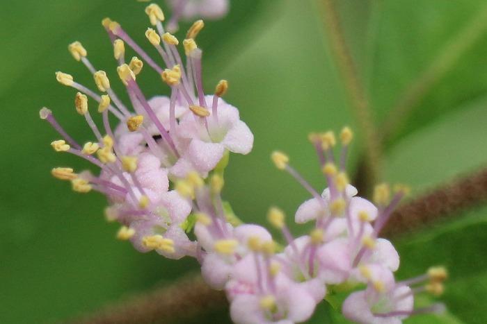 紫式部の花 横に切取る 1 7 23