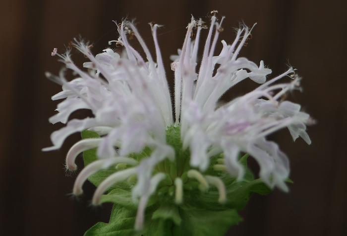 モナルダの花 松明花とも 1 7 25
