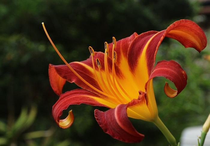 へメロカリス仁尾から 植木鉢 1 7 26