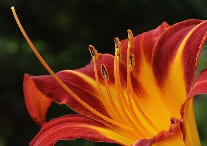 へメロカリスの花アップ 1 7 26