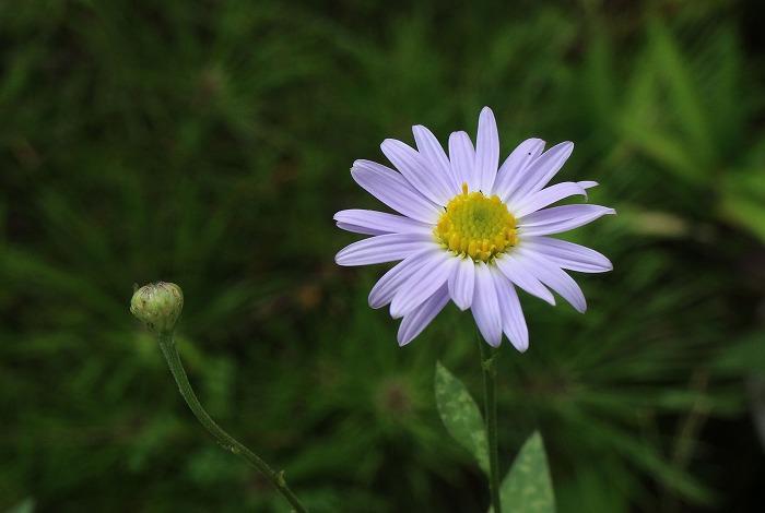 庭の野菊 1 7 29