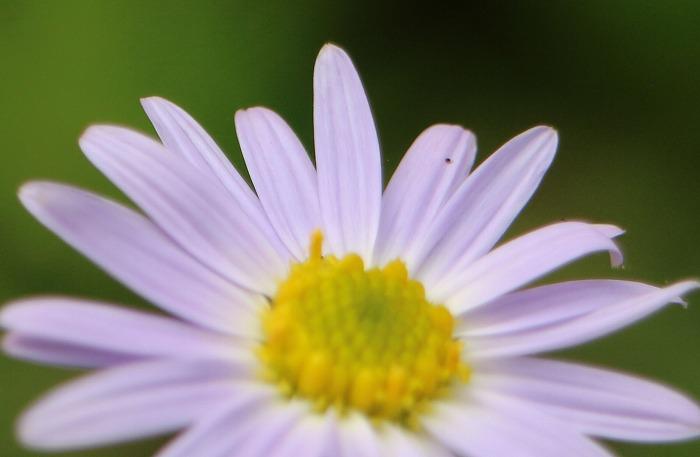 野菊の花アップ 1 7 29