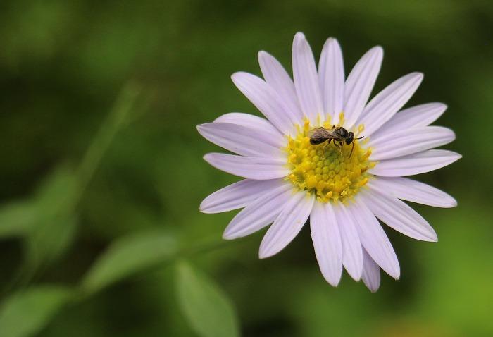 野菊の花に小さな虫 1 7 29