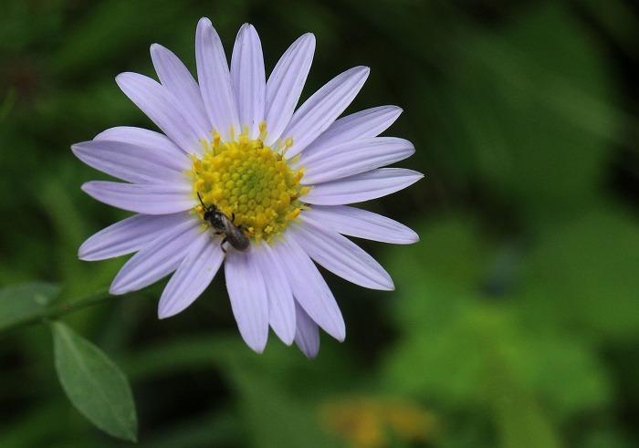 庭の植木鉢の野菊です 1 7 29