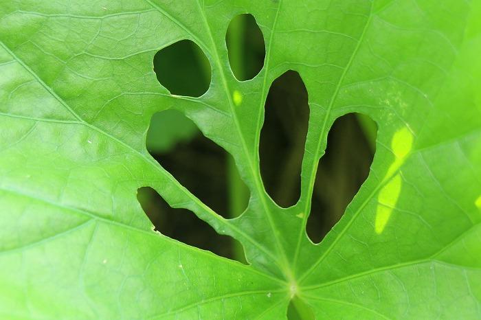 薩摩芋の葉虫に食べられて 1 8 10