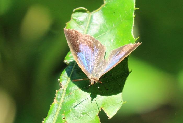 小さい蝶紫シジミ 1 8 11