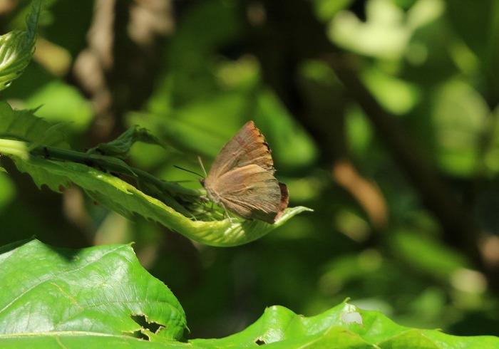 翅を閉じたら、茶色だけですシジミ蝶 1 8 11